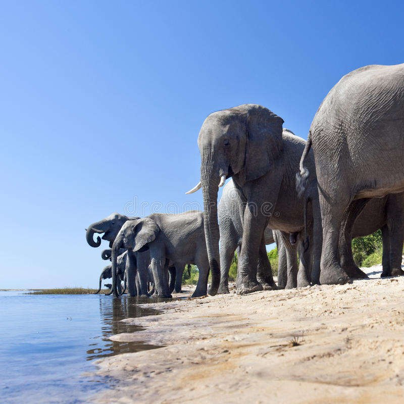 African Elephants - Chobe River - Botswana. A group of African Elephants (Loxodonta africana) drinking on the shore of the Chobe Rive in Botswana stock photography