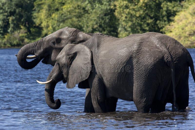Download African Elephants Drinking - Botswana Stock Photo - Image: 22927822