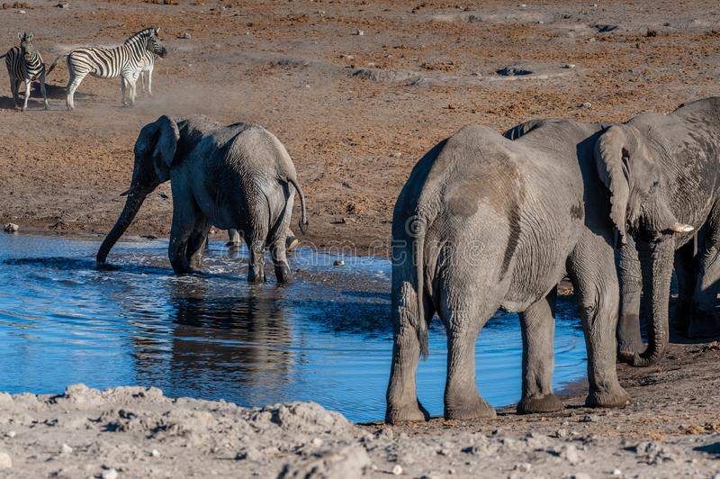 African Elephants drinking at a waterhole. A herd of African Elephant -Loxodonta Africana- taking a bath in a waterhole in Etosha national Park. A group of stock photography