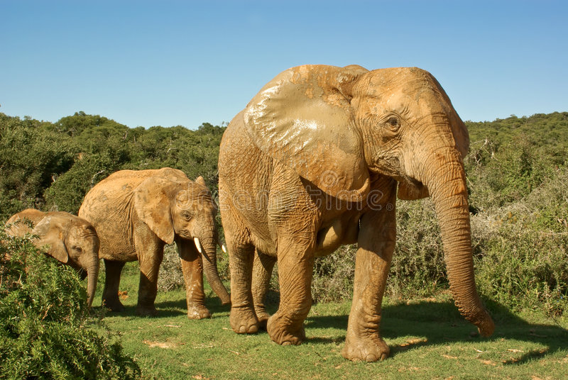 African elephants family walking through bushveld. In national park in south africa stock photos