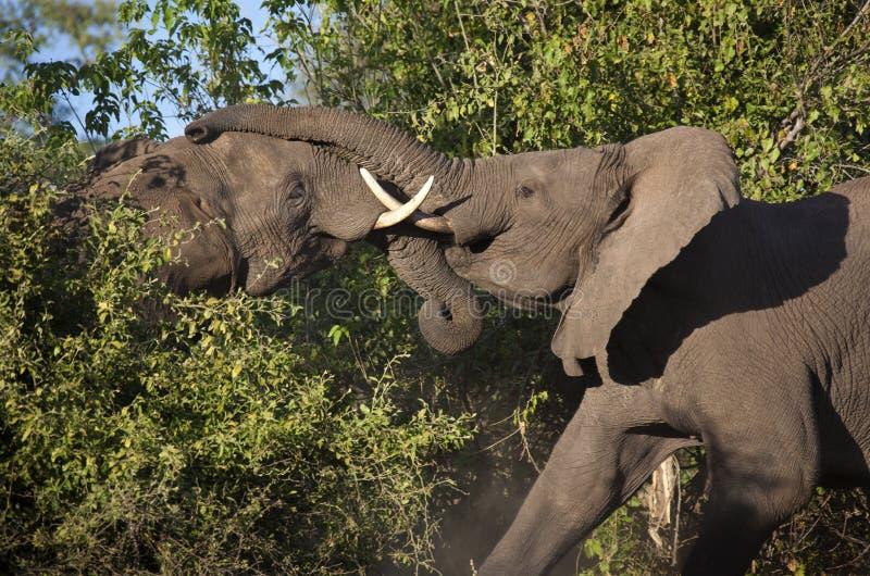 African Elephants Fighting - Botswana stock photo