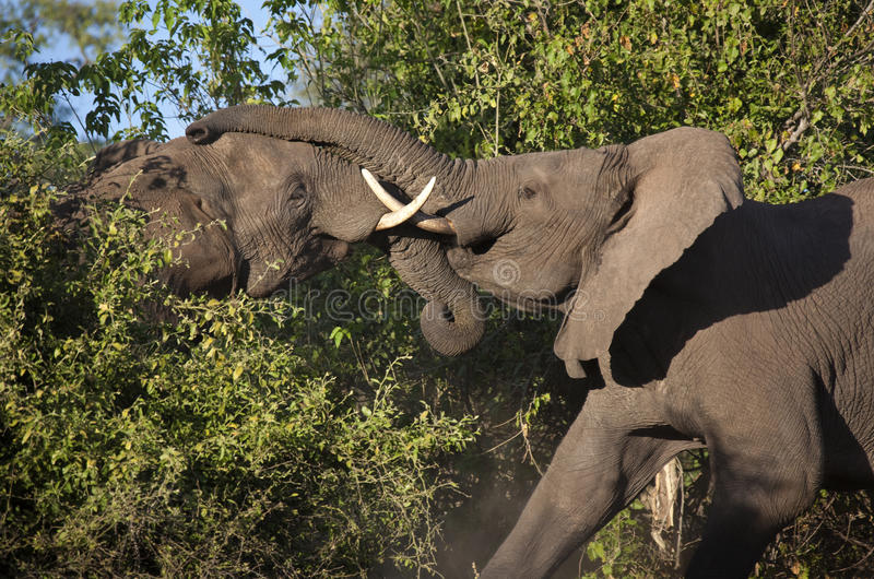African Elephants Fighting - Botswana. Two African Bull Elephants (Loxodonta africana) fighting in Chobe National Park in Northern Botswana stock photo
