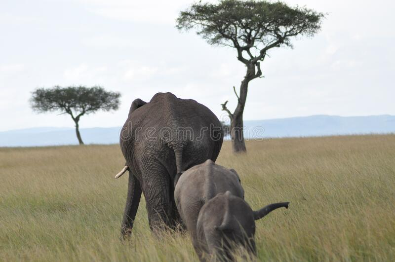 African elephants in grassland stock images