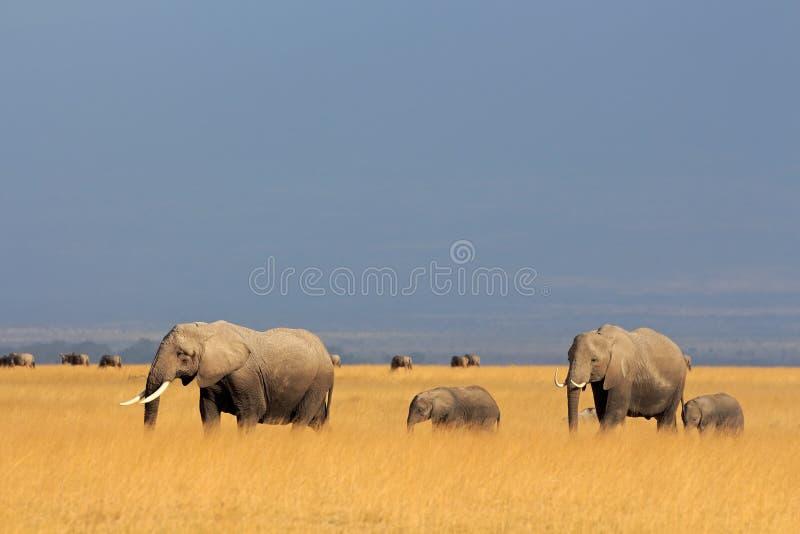 African elephants in grassland stock image