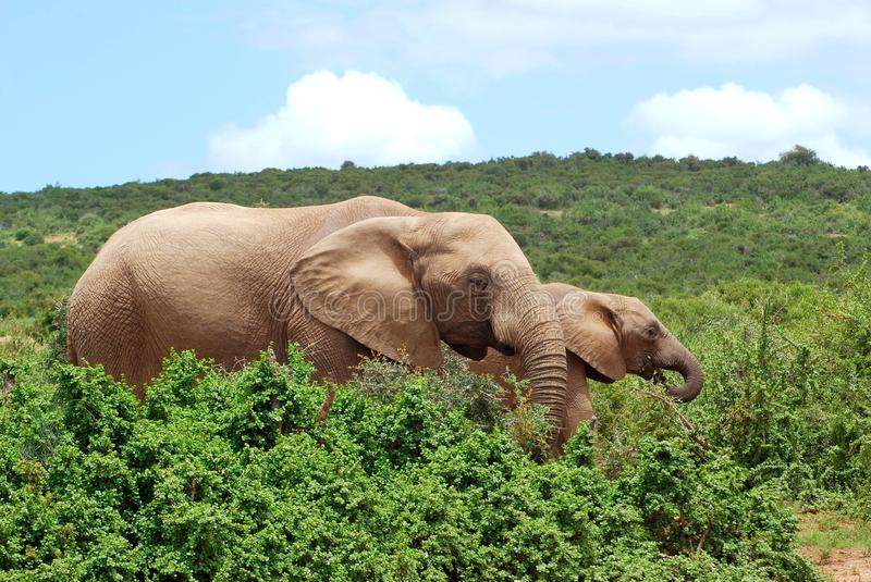 African elephants grazing. Two big African Elephants grazing in the green wild bushes at Addo Elephant Park, South Africa stock image