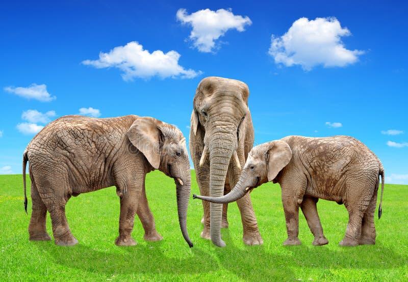 African elephants. Herd of African elephants on meadow stock images