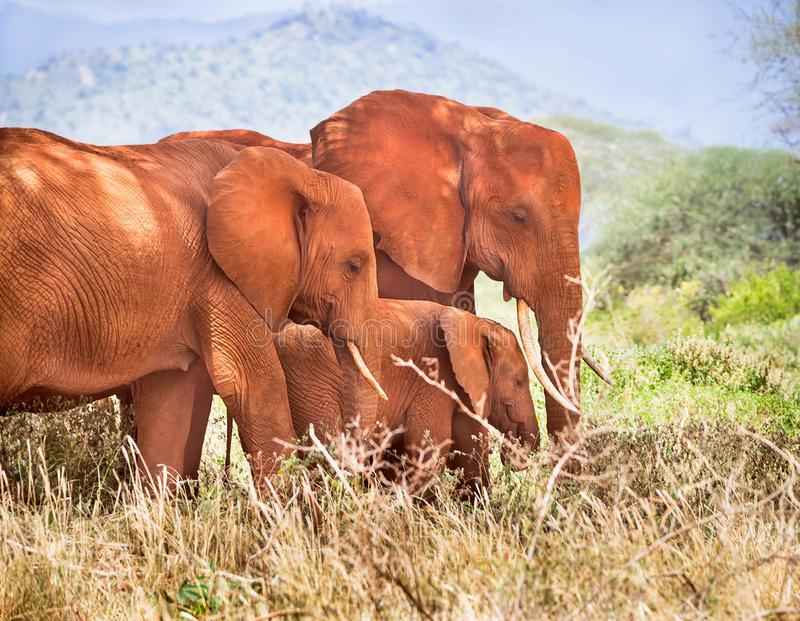 African elephants herd are on a open grass plain in wildlife reserve. Family baby, mother, father of elephants. Kenya, Africa. stock image