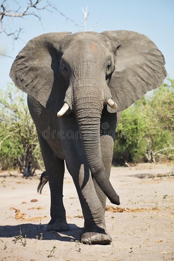 Free African Elephants, Loxodon Africana, In Chobe National Park, Botswana Stock Images - 63193884