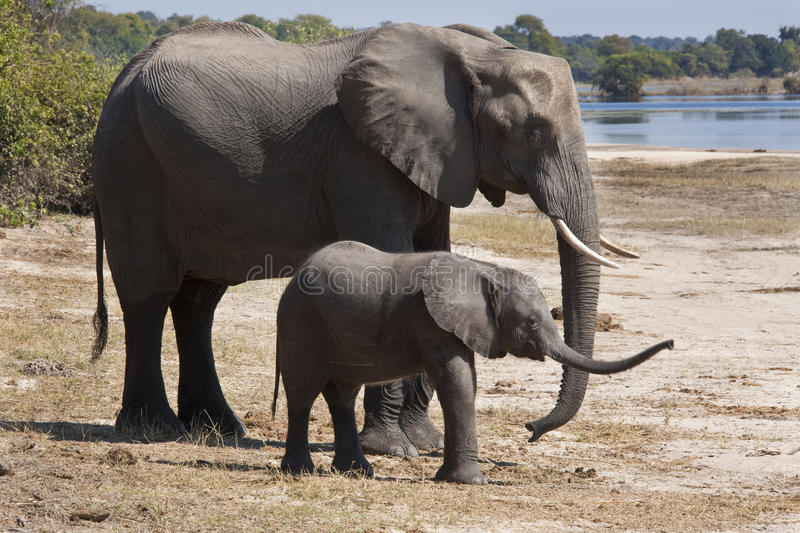 African Elephants (Loxodonta africana). Mother and young elephant at the Chobe River in Botswana stock photography