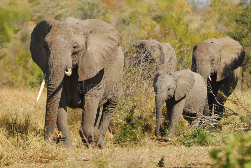 African Elephants (Loxodonta africana). In the bush (South Africa stock images