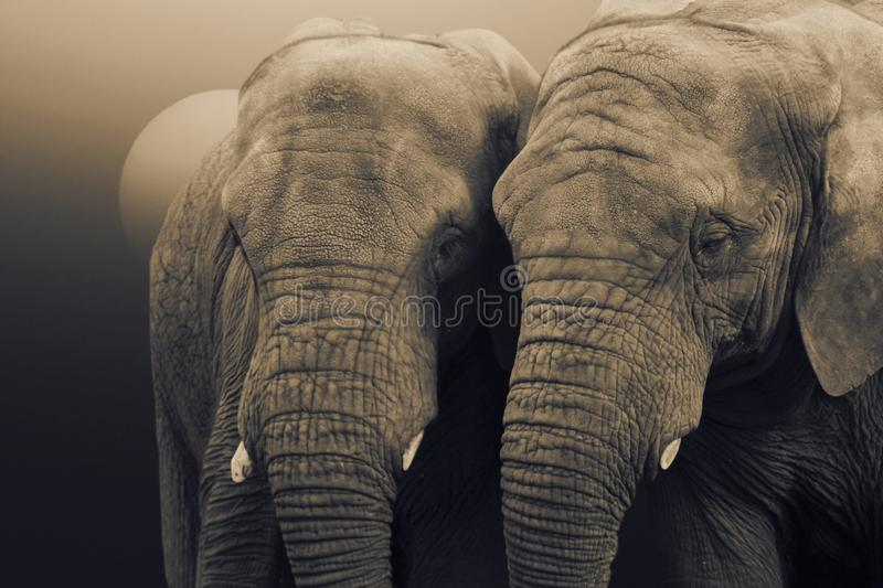 African Elephants,Loxodonta africana, standing with the sun rising behind stock images