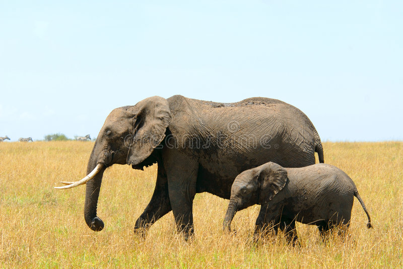 African elephants mother and baby royalty free stock photography