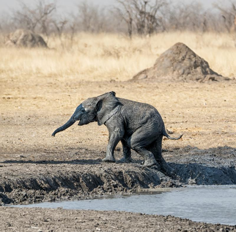 African Elephants. At a muddy watering hole in namibian savanna stock photo