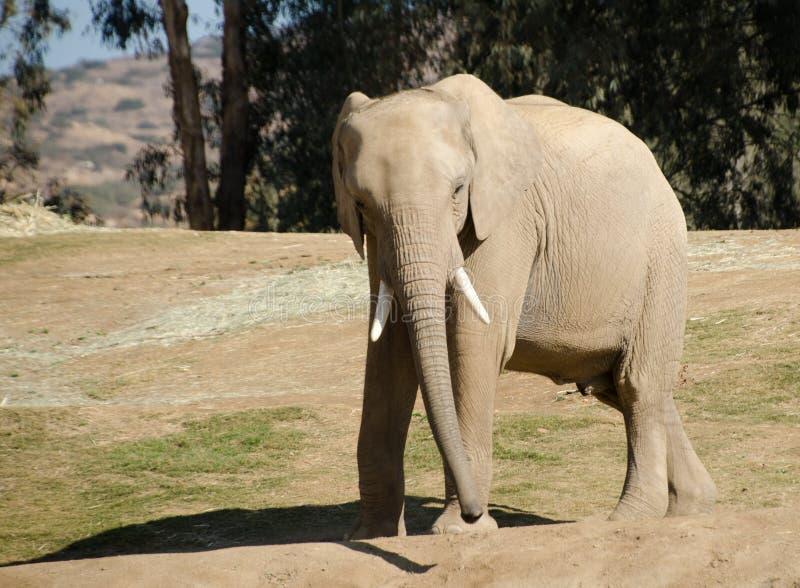 African elephants in safari park - 2. African elephants in safari park, near San Diego stock photos
