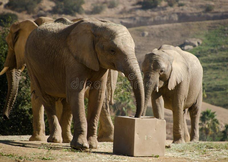 African elephants in safari park - 1. African elephants in safari park, near San Diego stock photos