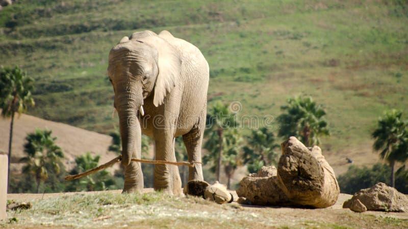 African elephants in safari park - 3. African elephants in safari park, near San Diego stock photography
