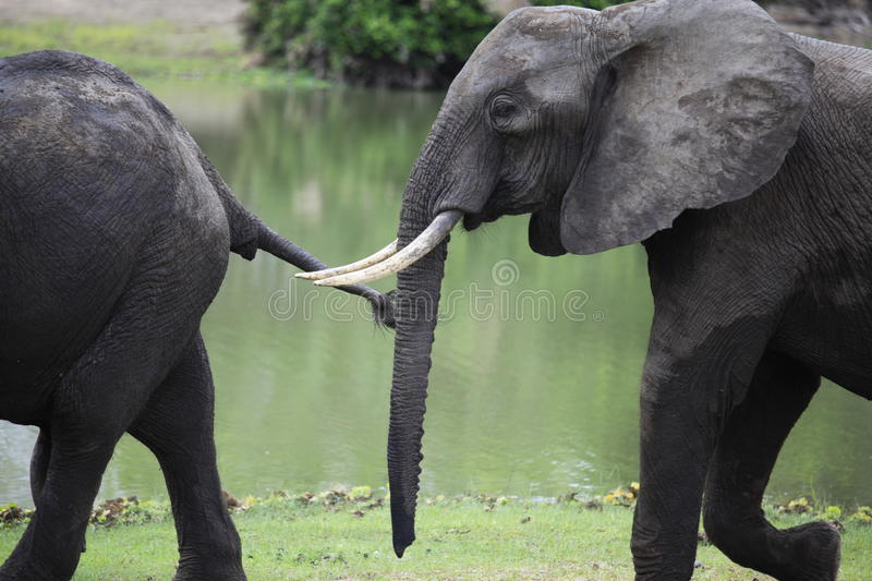 African Elephants, Selous Game Reserve, Tanzania. Elephants in Tanzania`s largest game reserve could be wiped out within six years, the World Wildlife Fund says stock images