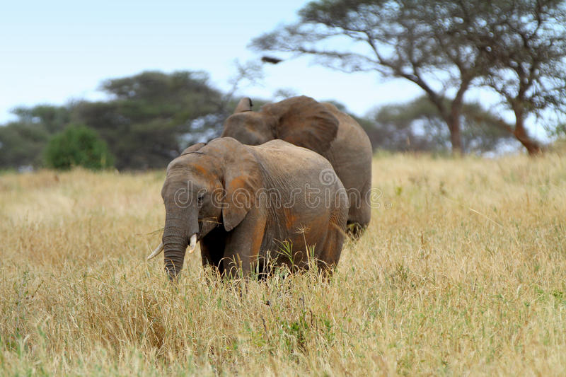 African Elephants. In the Serengeti NP royalty free stock photos