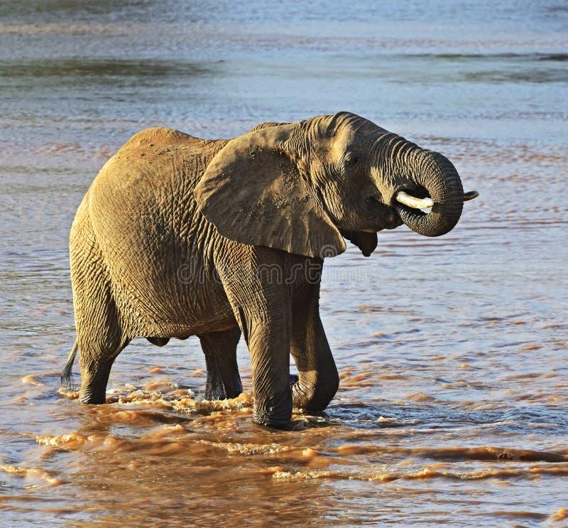 African elephants. In their natural habitat. Kenya stock photo