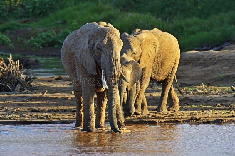 African elephants. In their natural habitat. Kenya royalty free stock image