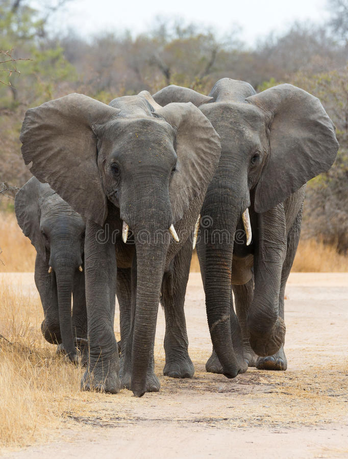 African Elephants Walking. Kruger NP, South Africa royalty free stock images