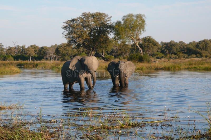 African Elephants - Waterhole in Botswana. African Elephants (Loxodonta africana) drinking at a waterhole in the Savuti region of Botswana stock photos