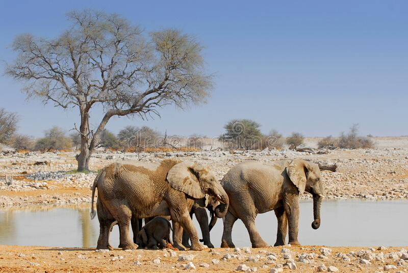 African elephants at waterhole in Okaukuejo, Etosha National Park, Namibia.  royalty free stock photo