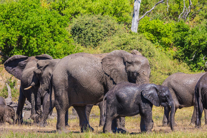 African elephants at watering royalty free stock photography