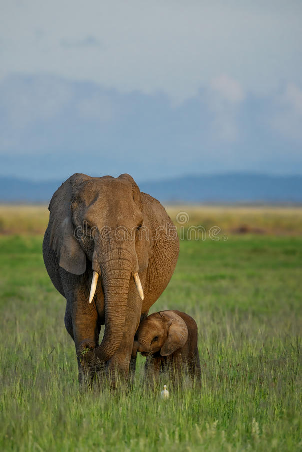 African elephants wfamily. African elephants family in late p.m. light stock photography