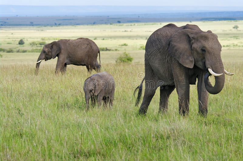 African  elphants