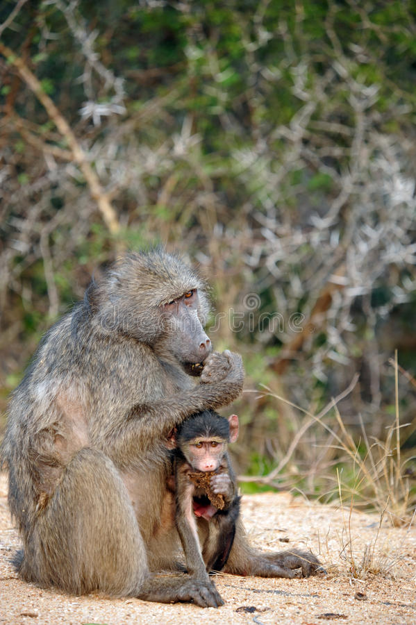 Download African Female Baboon And Her Baby Stock Photo - Image: 26525256