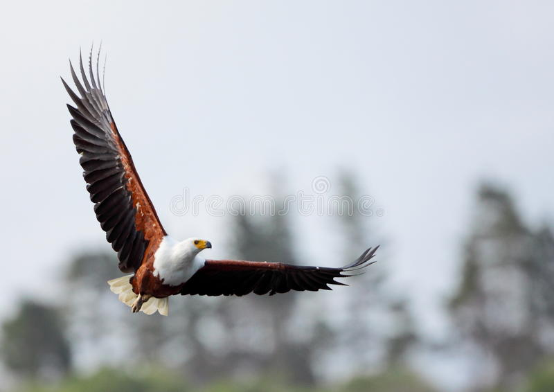 African Fish Eagle. Photographed in Wilderness South Africa royalty free stock photos