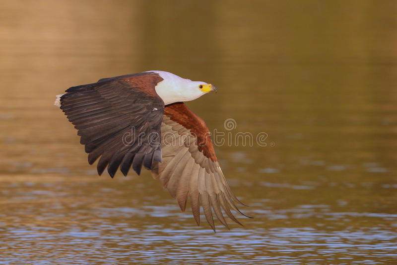 Download African Fish Eagle stock photo. Image of vocoder, endangered - 25420792