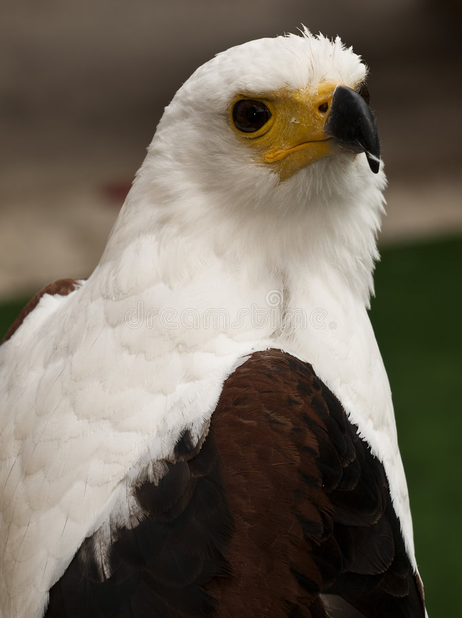 Free African Fish Eagle Stock Images - 9068434