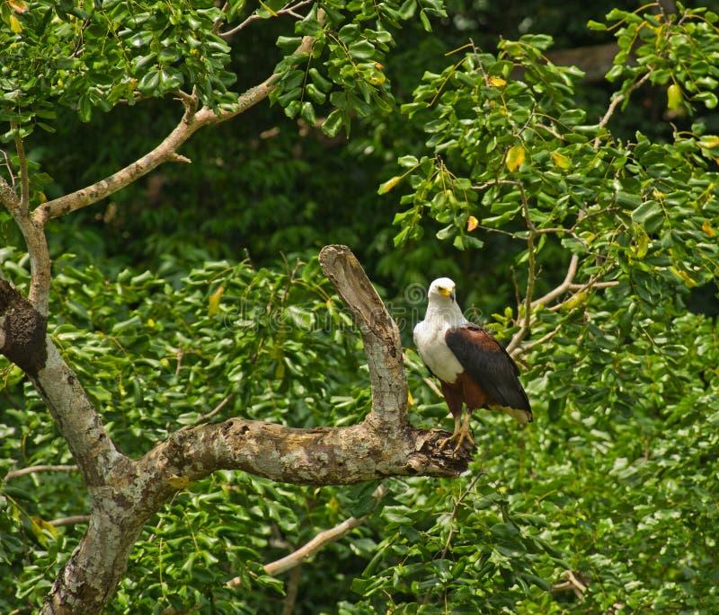 African Fish eagle on ambush