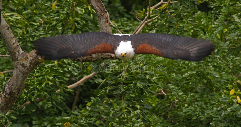 African Fish Eagle on attack stock images