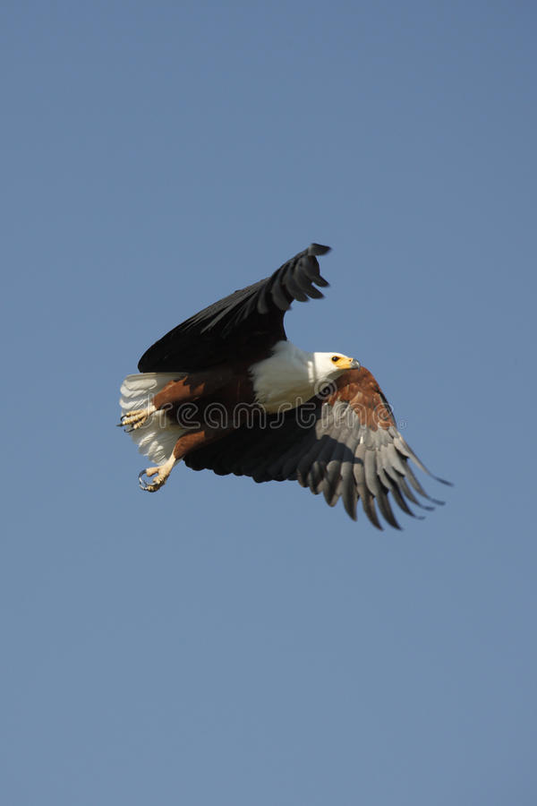 Download African Fish Eagle - Botswana Stock Photo - Image: 10815988