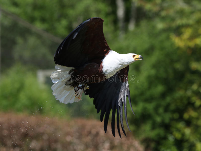 African Fish Eagle stock image