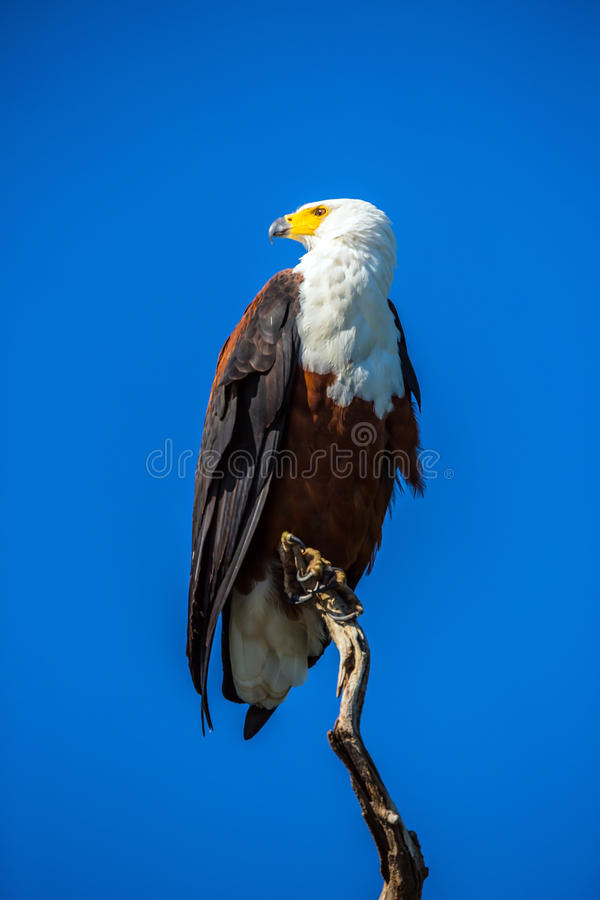 African Fish Eagle on a dry tree. Botswana, Chobe National Park on the Zambezi River. African Fish Eagle on a dry tree on the river royalty free stock photo