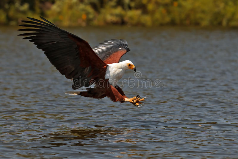 African fish-eagle fishes on the Lake Naivasha