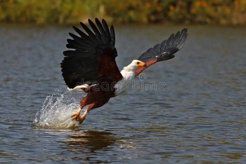 African fish-eagle fishes on the Lake Naivasha royalty free stock image