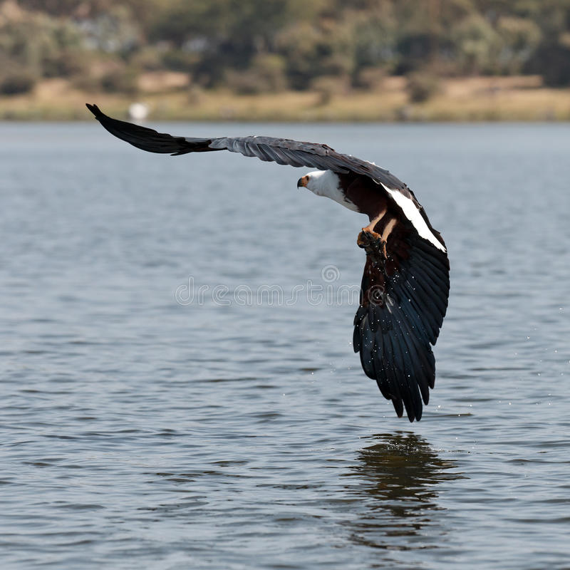 Download African Fish-eagle Flies Over The Lake Stock Photo - Image of africa, african: 15610458