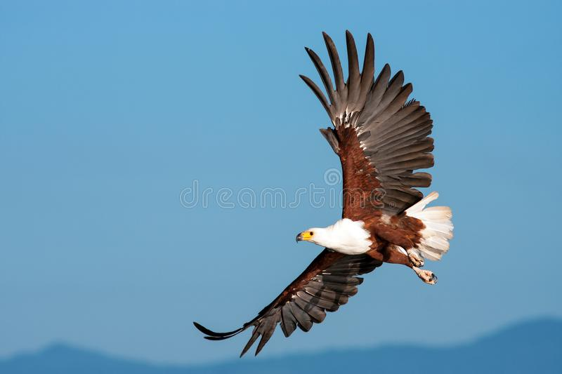 African Fish Eagle flying against a clear sky stock photo