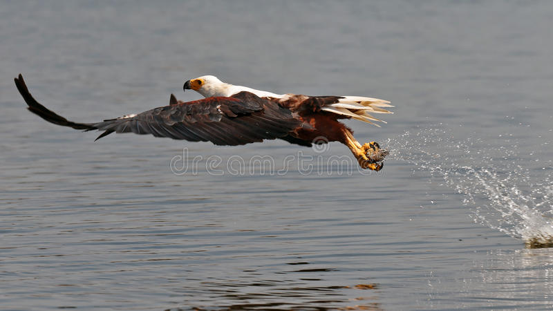 African Fish-eagle Picks Up The Fish Out Of Water Stock Image