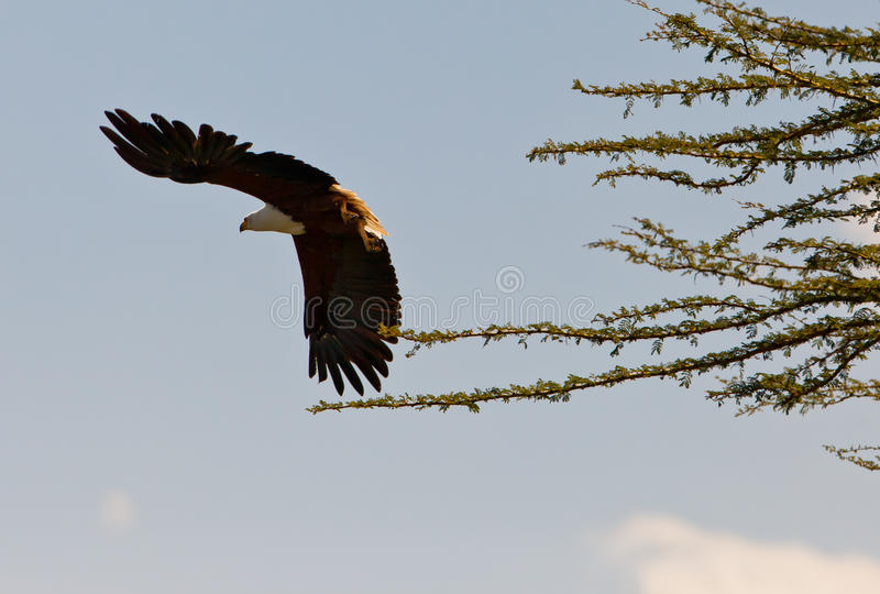 Download African Fish Eagle Taking Off Royalty Free Stock Image - Image: 24175616