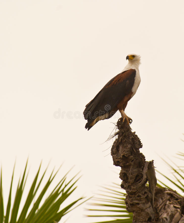 African Fish Eagle on top of a palm tree. In the early morning an African Fish Eagle perches on top of a tall palm tree waiting for the warm air currents which royalty free stock image