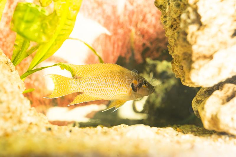 African fish Trophyus Cichlids living in Lake royalty free stock photos