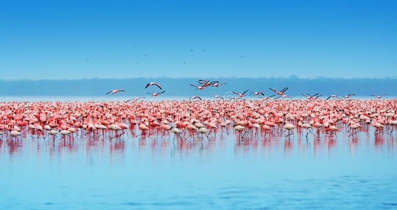 African flamingos. African safari, flamingos in the lake Nakuru, Kenya