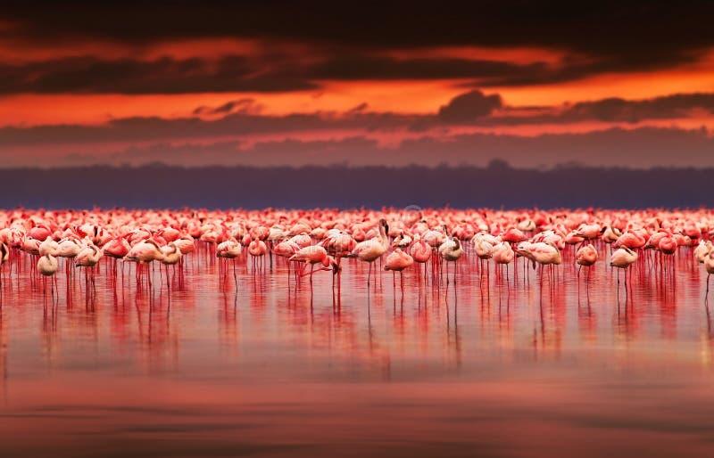 African flamingos on sunset. African flamingos in the lake over beautiful sunset, flock of exotic birds at natural habitat, Africa landscape, Kenya nature, Lake royalty free stock image