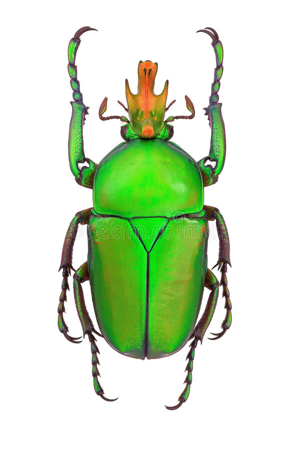 African flower beetle Taurhina longiceps stock photo